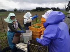 アスパラ収穫作業風景2012