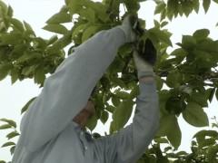 庄内柿、摘蕾作業