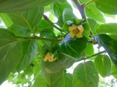 庄内柿の淡い黄色のランプシェード