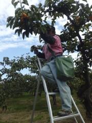 庄内柿収穫風景