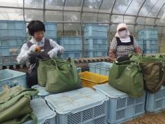 庄内柿作業風景