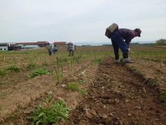 松ヶ岡農場特産 アスパラガスの収穫作業