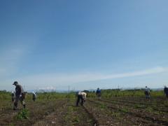 新鮮アスパラガスの収穫風景
