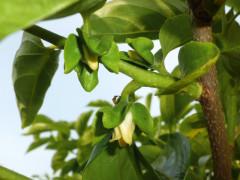 庄内柿の花と蕾と