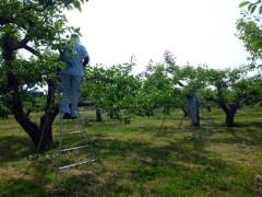 庄内柿 摘蕾作業風景の様子