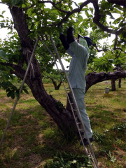 庄内柿の摘蕾作業の様子