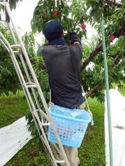 松ヶ岡農場 桃(暁星) 収穫開始!