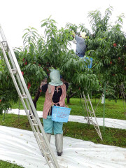 松ヶ岡農場 桃(暁星) 収穫作業風景