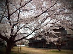 松ヶ岡開墾場 桜の様子