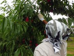桃 収穫作業