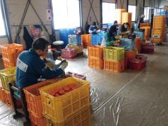 干柿 柿の詩 製造過程