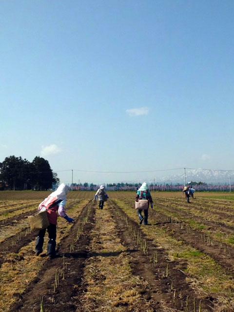 アスパラ収穫風景